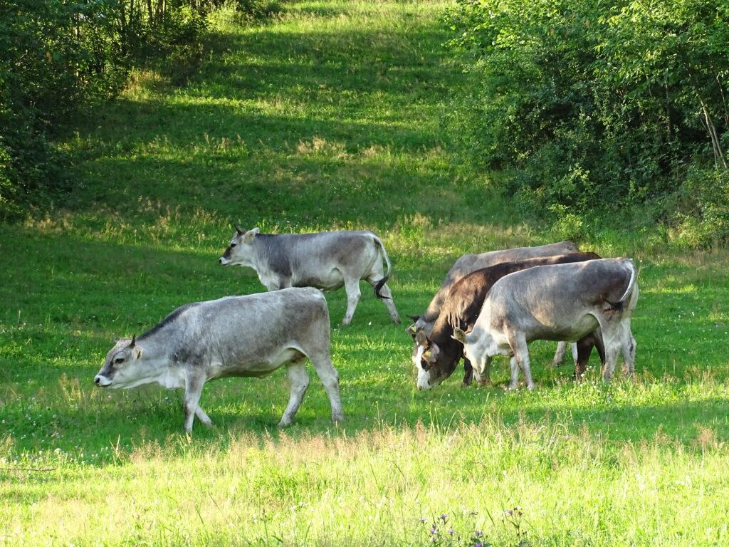 Glückliche-Kühe-Graineter-Hügel
